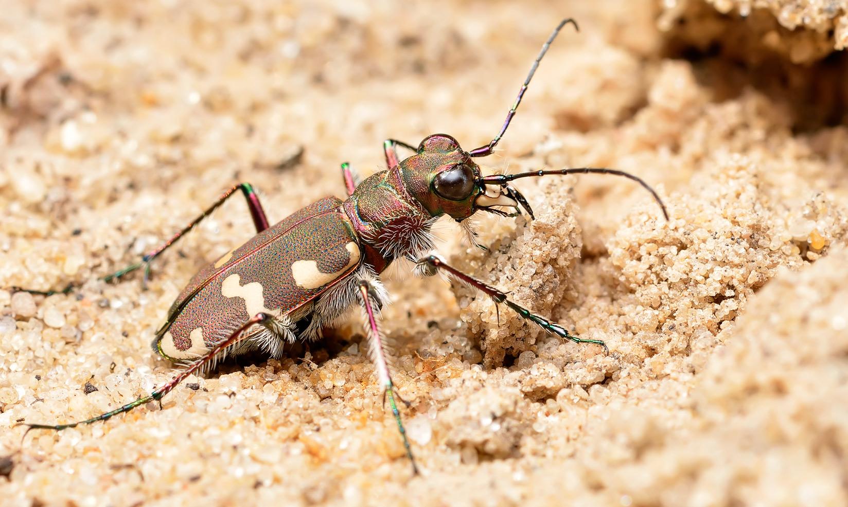 Фото жука-скакуна